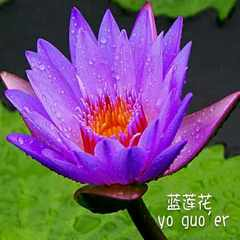 The blue lotus flowers and fruit essential oil saturation water depth hydrating hydrosol soothing 100m