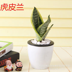 Give back old customers 1 yuan parcel post new customers do not take a fortune tree potted rubber tr The tiger orchid