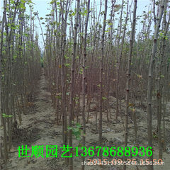 A large number of supply ginkgo trees with high qu 0.6 to 2.5