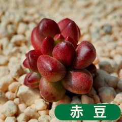 Fleshy plant red bean also known as white stone re The diameter of red bean/canopy is about 1~2 cm