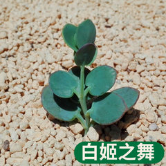 The dance of the succulent plant bai ji potted pla Bai ji`s dance/height is about 3~5 cm