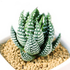 Succulent plant eagle claw 12 rolls potted green p The diameter of the 12 rolls/canopy is about 2~3 cm