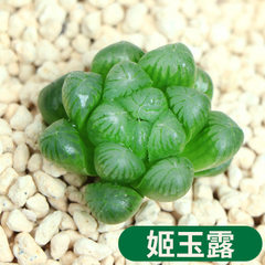 Succulent jade dew potted plant green flowers pott Himeji jade dew/canopy width is about 2~3 cm in diameter