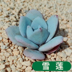 Succulent plant snow lotus potted plant green flow The diameter of snowdrops/canopy is about 2~4 cm