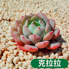 Succulent plant Clara potted plant green flowers p The kerala/canopy width is about 3~4 cm in diameter