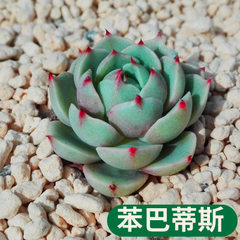 The succulent plant phenobaditis is also known as  The diameter of phenobatitis/canopy is about 2~3 cm